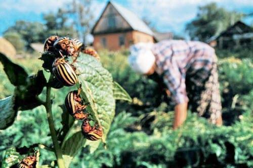 ручной сбор колорадских жуков на огороде