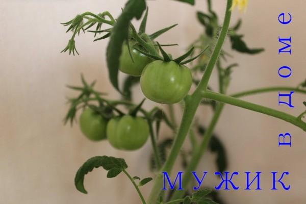 детерминантные помидоры