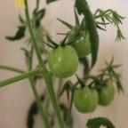 низкие и высокие сорта томатов