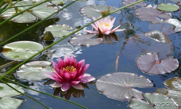 цветы для пруда в саду
