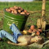 Хранение картофеля и правильная его уборка