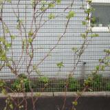 виноградник в саду
