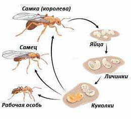 Как убить мать (королеву) муравейника